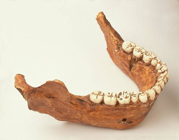 Evolution Photograph - Lower Jaw Of Young Adult Neanderthal by Dorling Kindersley/uig