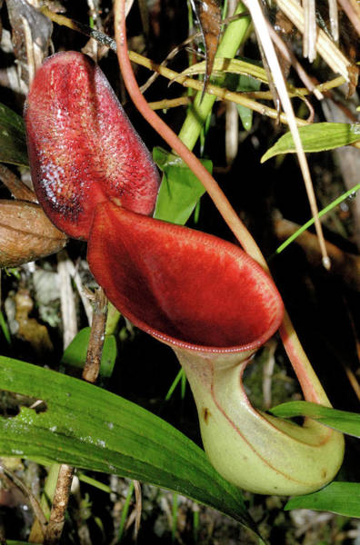 Pitcher Plant Photograph - Low's Pitcher Plant (nepenthes Lowii) by Sinclair Stammers/science Photo Library