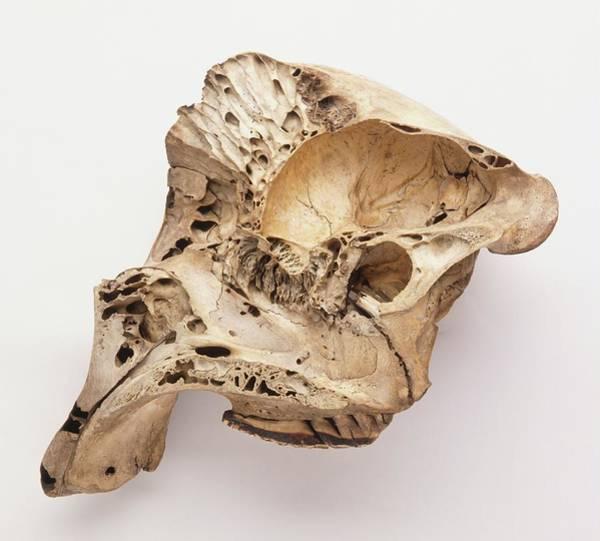 Skeletal System Photograph - Loxodonta Africana African Elephant Skull by Dorling Kindersley/uig