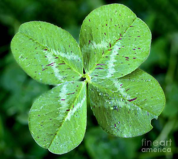 Four Leaf Clover Photograph - Lucky Clover by Brandon Alms