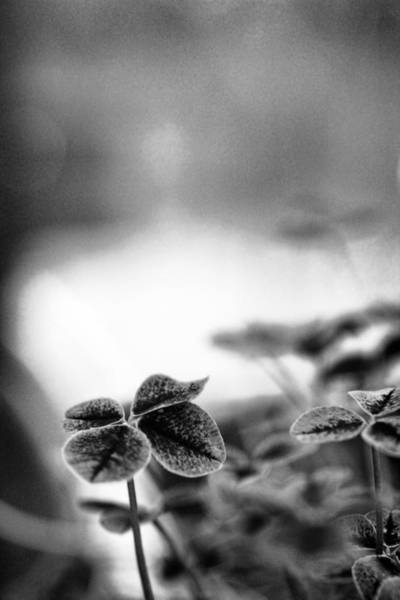 Four Leaf Clover Photograph - Lucky Clover by Nancy Ingersoll