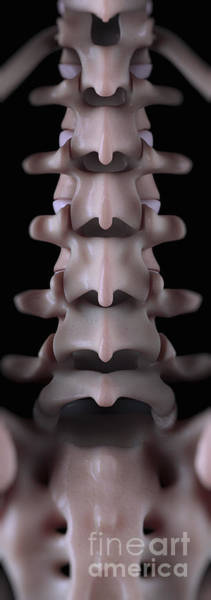 Photograph - Lumbar Vertebrae by Science Picture Co