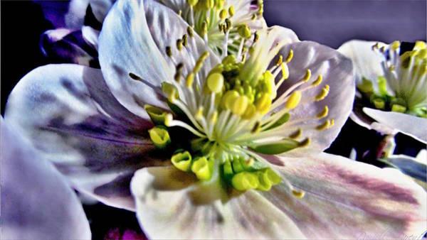 Photograph - Luminous Hellebores by Danielle  Parent