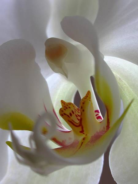 Photograph - Luminous Orchid by Juergen Roth