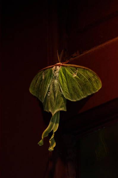Moth Photograph - Luna At My Door by Susan Capuano