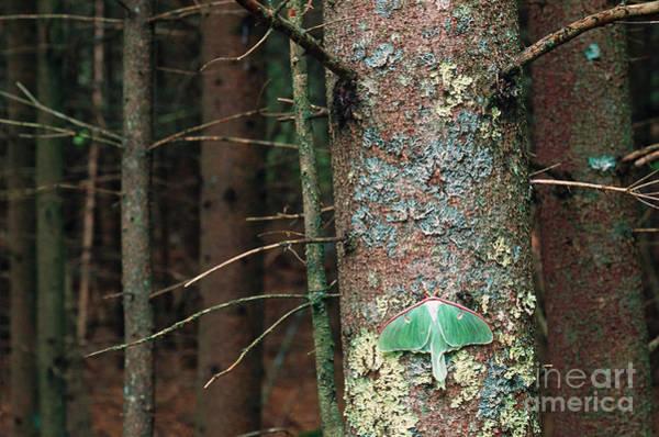 Pterygota Wall Art - Photograph - Luna Moth by Art Wolfe