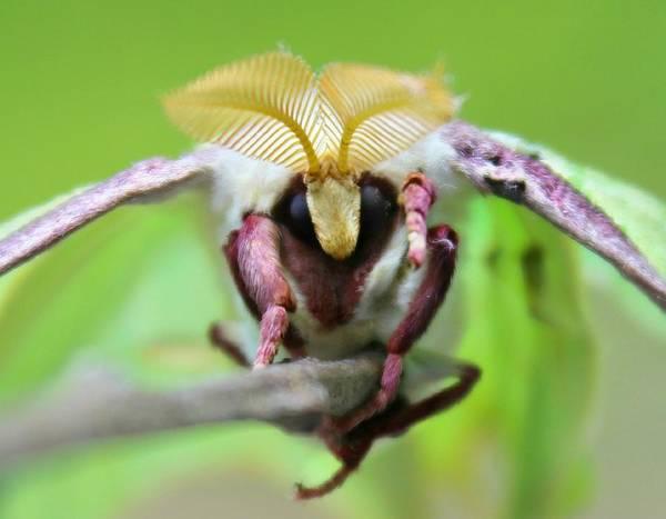 Photograph - Luna Moth by Candice Trimble