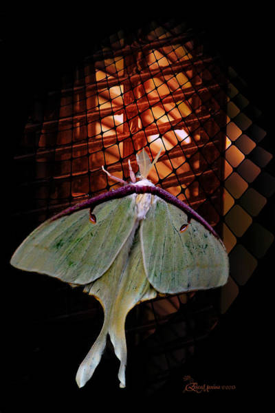 Photograph - Luna Moth by Ericamaxine Price