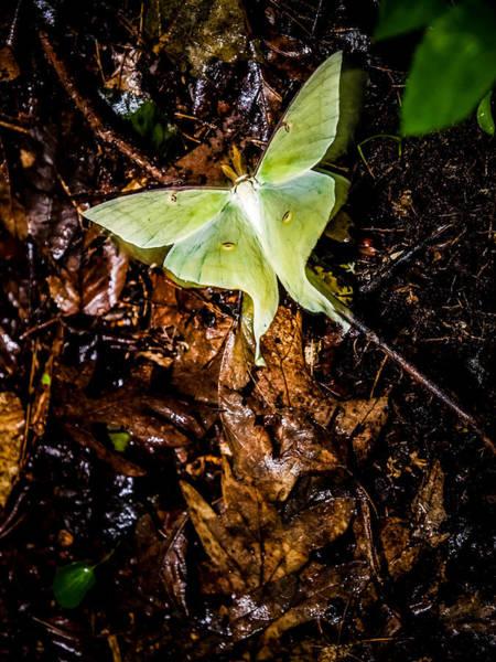 Photograph - Luna Moth by Jim DeLillo
