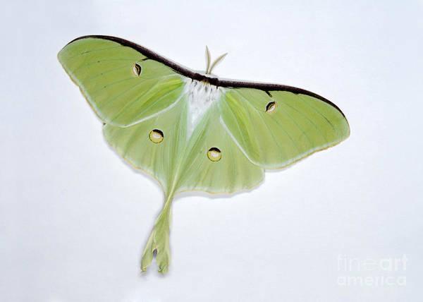 Pterygota Wall Art - Photograph - Luna Moth by Scott Camazine