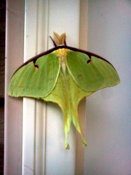 Analogous Color Photograph - Luna Moth by Stacy C Bottoms