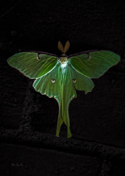 Wall Art - Photograph - Lunar Moth by Bob Orsillo