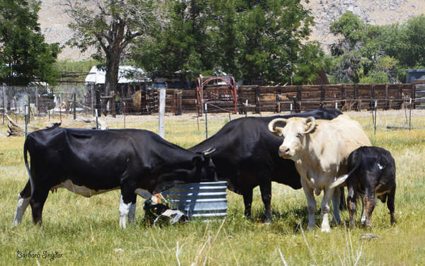 Become One Wall Art - Photograph - Lunch Time In The Pasture 2 by Barbara Snyder