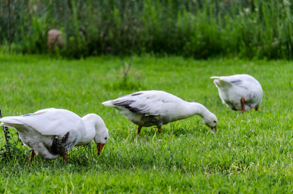 Duck Meat Photograph - Lunch Time by Sotiris Filippou