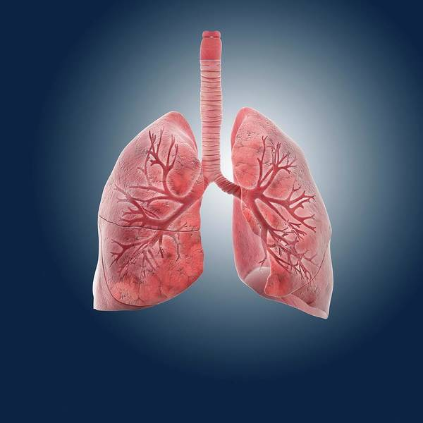 Pipe Organ Wall Art - Photograph - Lungs by Springer Medizin/science Photo Library
