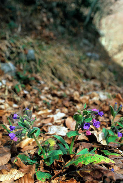 Purple Sage Photograph - Lungwort (pulmonaria Vallarsae) by Bruno Petriglia/science Photo Library