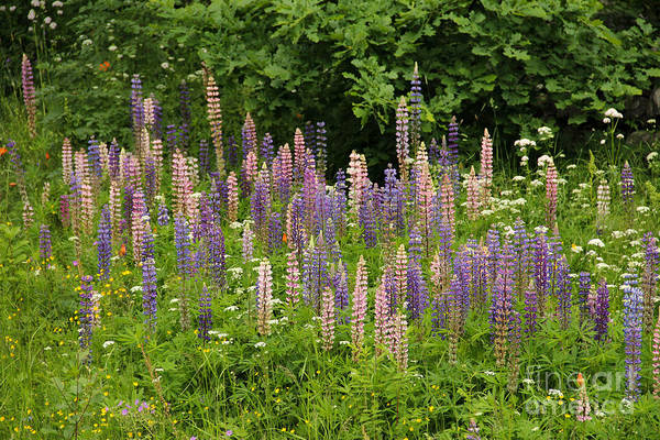 Wild Chervil Wall Art - Photograph - Lupin Flowers On A Meadow by Kerstin Ivarsson