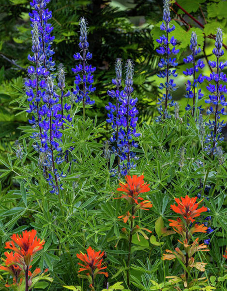 Stillwater Photograph - Lupine And Indian Paintbrush by Chuck Haney