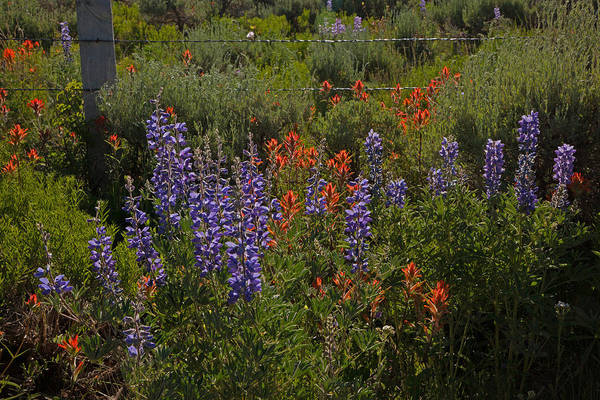 Photograph - Lupine And Paintbrush by Susan Rovira