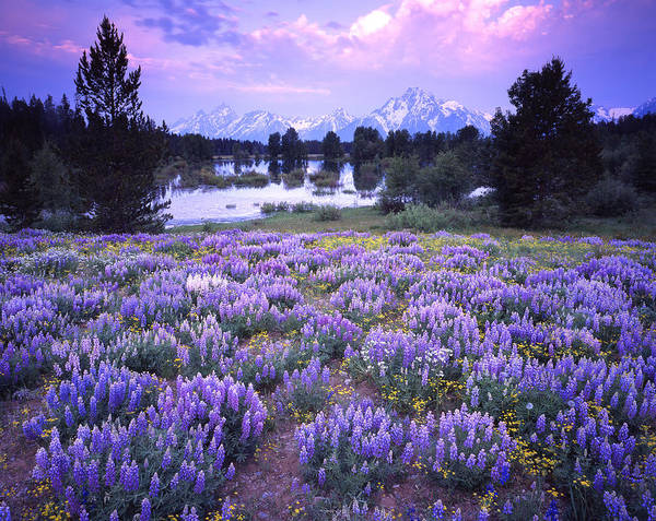 Photograph - Lupine In The Tetons by Ray Mathis