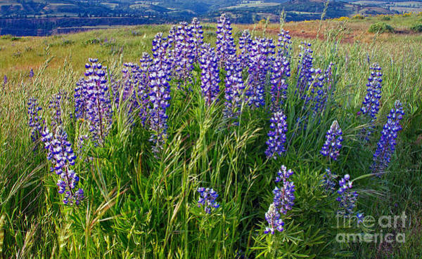 Photograph - Lupine In The Tom Mccall Preserve by Stuart Gordon