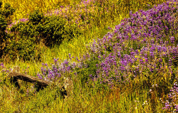 Photograph - Lupine by Kevin  Dietrich