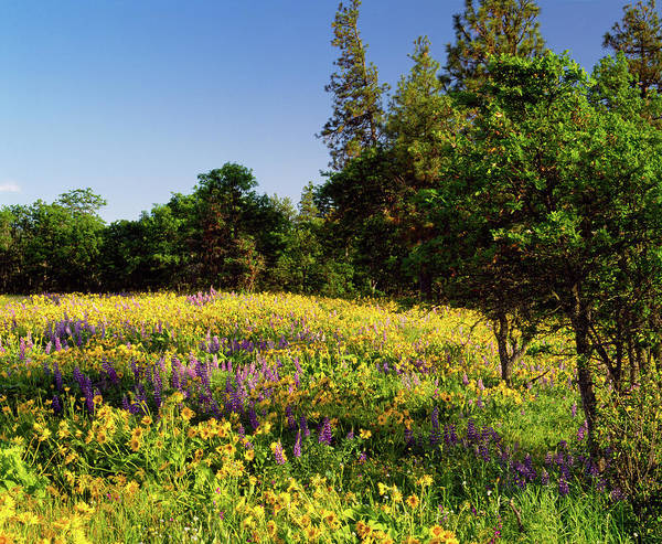 Rowena Photograph - Lupine Lupinus And Arrow-leaf by Panoramic Images