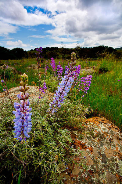 Santa Rosa Photograph - Lupine by Peter Tellone