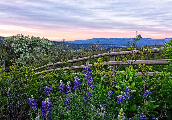 Photograph - Lupine Sunset by Rick Wicker