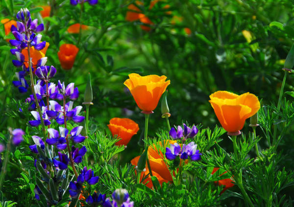 Photograph - Lupines And Poppies by Lynn Bauer