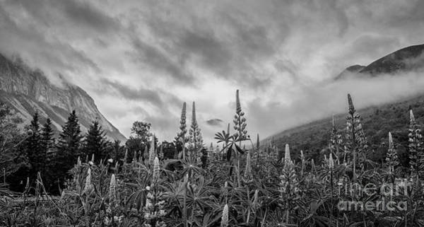 Franconia Notch Wall Art - Photograph - Lupines In The Mist by Scott Thorp