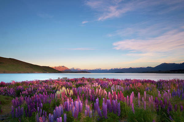 Waters Edge Wall Art - Photograph - Lupins Of Lake Tekapo by Simonbradfield