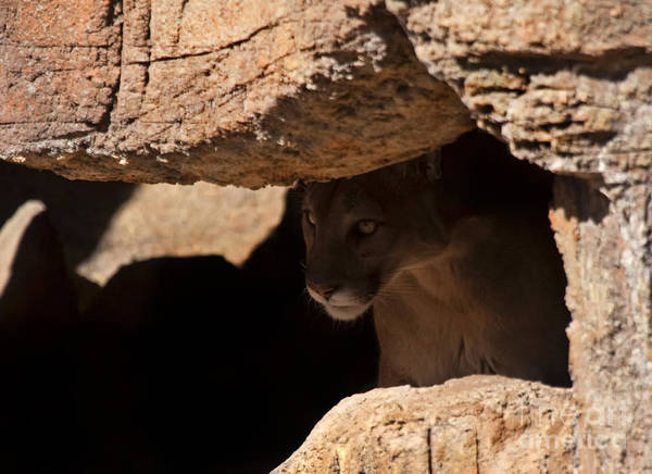 Puma Photograph - Lurking In The Shadows by Mike  Dawson