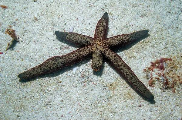 Wall Art - Photograph - Luzon Starfish by Georgette Douwma/science Photo Library