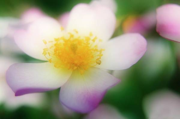 Hybrid Rose Photograph - Lyda Rose (rosa Sp.) by Maria Mosolova/science Photo Library