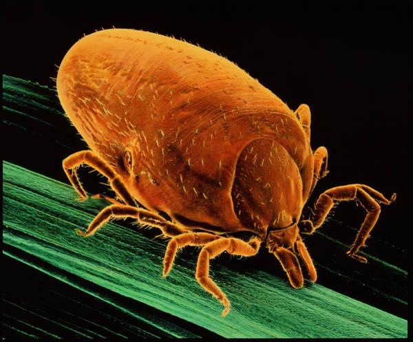 Arachnida Wall Art - Photograph - Lyme Disease Tick by K.h. Kjeldsen/science Photo Library