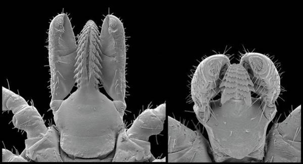 Arachnida Wall Art - Photograph - Lyme Disease Ticks by Steve Gschmeissner/science Photo Library
