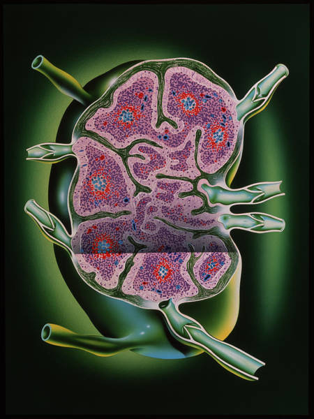 Wall Art - Photograph - Lymph Node by John Bavosi