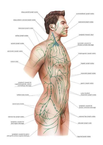Atlas Of Human Anatomy Wall Art - Photograph - Lymphatic Drainage by Asklepios Medical Atlas
