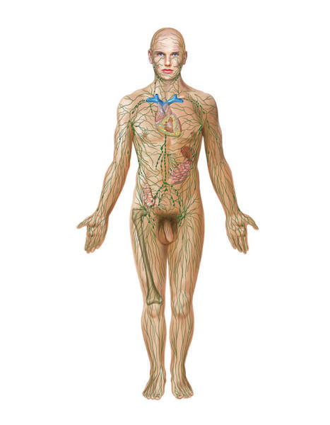 Thoracic Photograph - Lymphoid System by Asklepios Medical Atlas