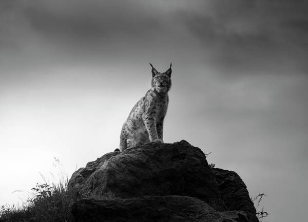Animal Portrait Photograph - Lynx Drama. by Sergio Saavedra Ruiz