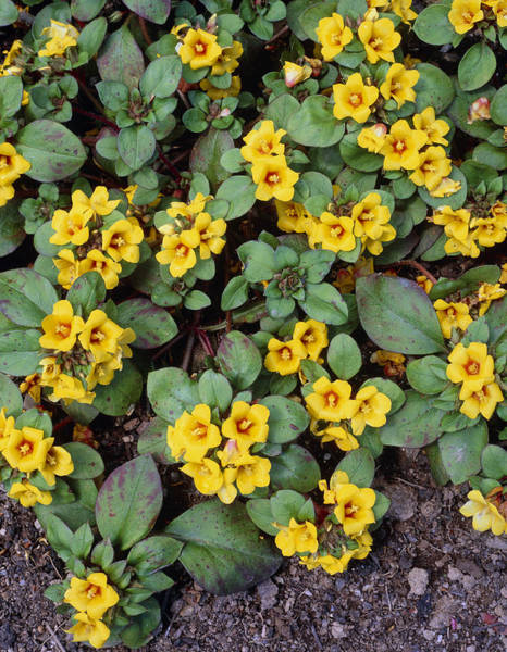 Horticulture Photograph - Lysimachia Congestiflora by Geoff Kidd/science Photo Library