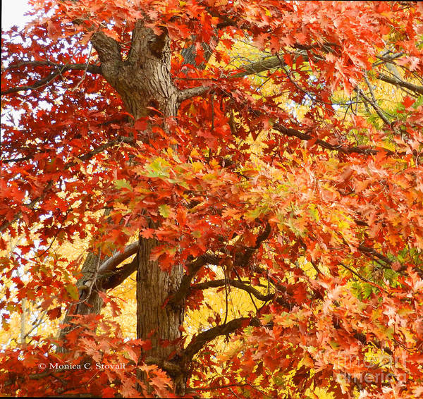 Photograph - Oak Tree In Fall - M Landscapes Fall Collection No. Lf4 by Monica C Stovall