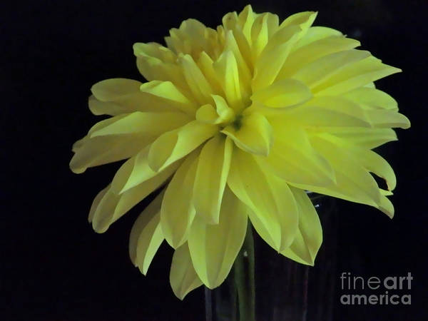 Photograph - M Still Life Collection Yellow Flower Clear Vase N. Slc16 Close Up by Monica C Stovall