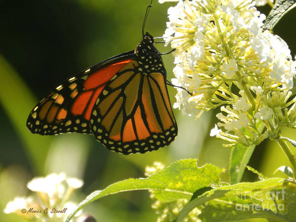 Photograph - M White Flowers Collection No. W12 - Monarch Butterfly Sipping Nectar by Monica C Stovall