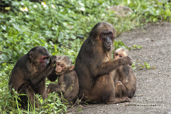 Wall Art - Photograph - Macaque Moms And Their Babies by Ted Guhl