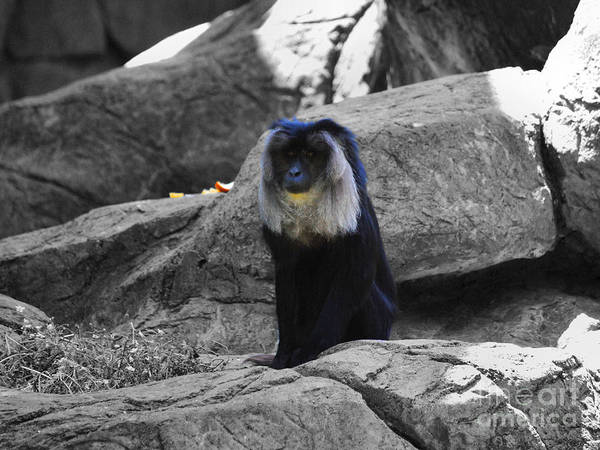 Photograph - Macaque Monkey by Jai Johnson