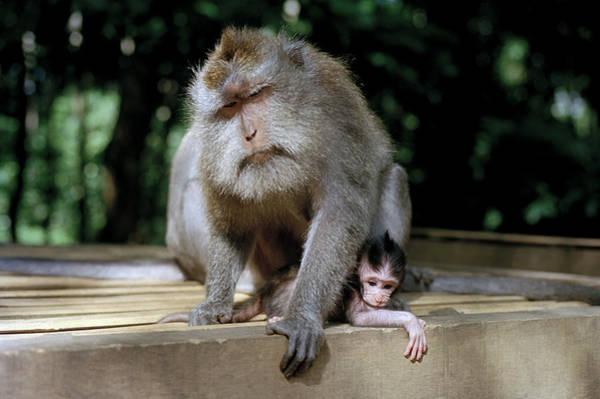 Photograph - Macaque Monkeys by Shaun Higson