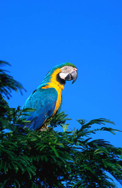 Macaw Photograph - Macaw Parrot In Kido Ecological by Margie Politzer