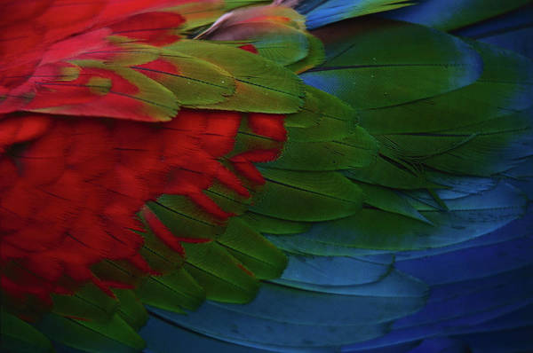 Macaw Photograph - Macaw Plumage Detail by Diego Lezama